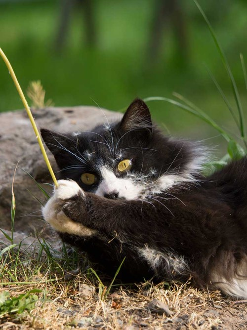 Photo of farm cat playing with dandelion